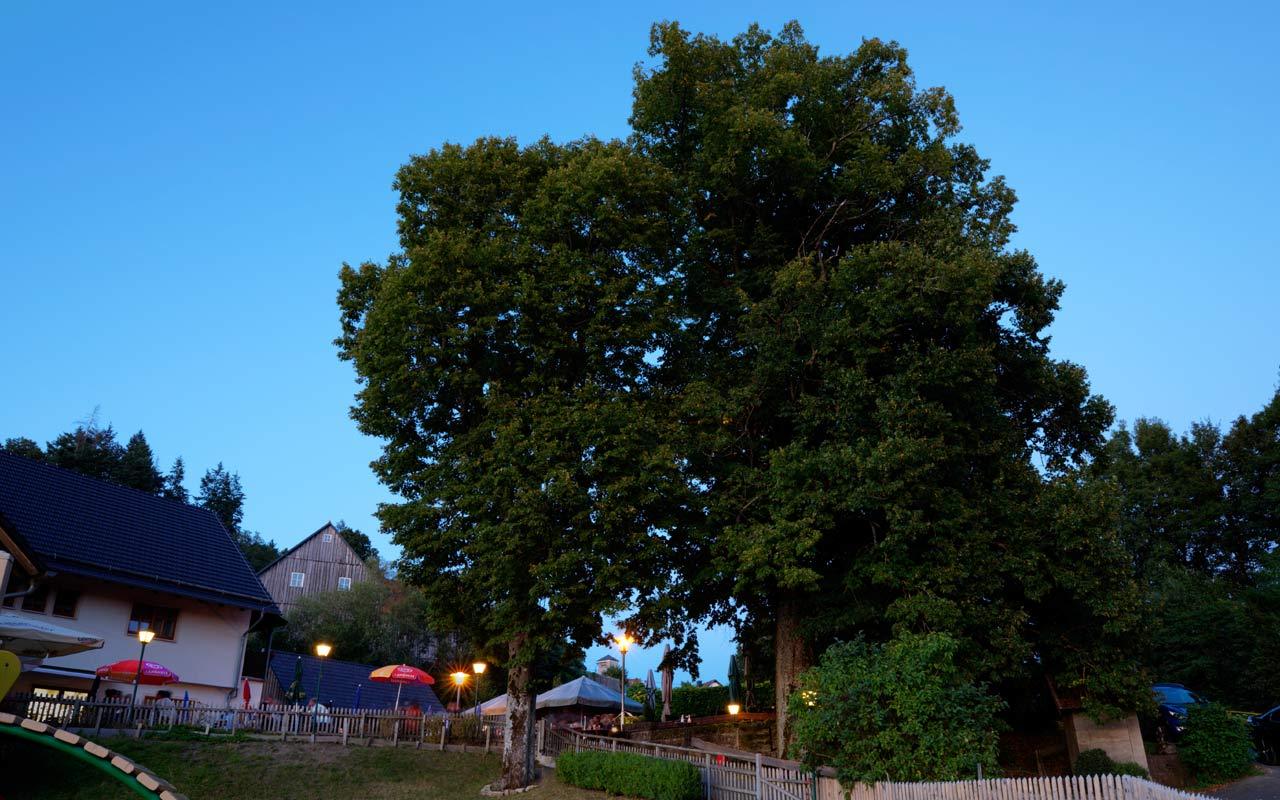 Prächtige Lindenbäume Am Biergarten Gasthof Bauernhannla